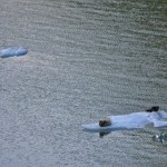 Tracy Arm Fiord | Seals